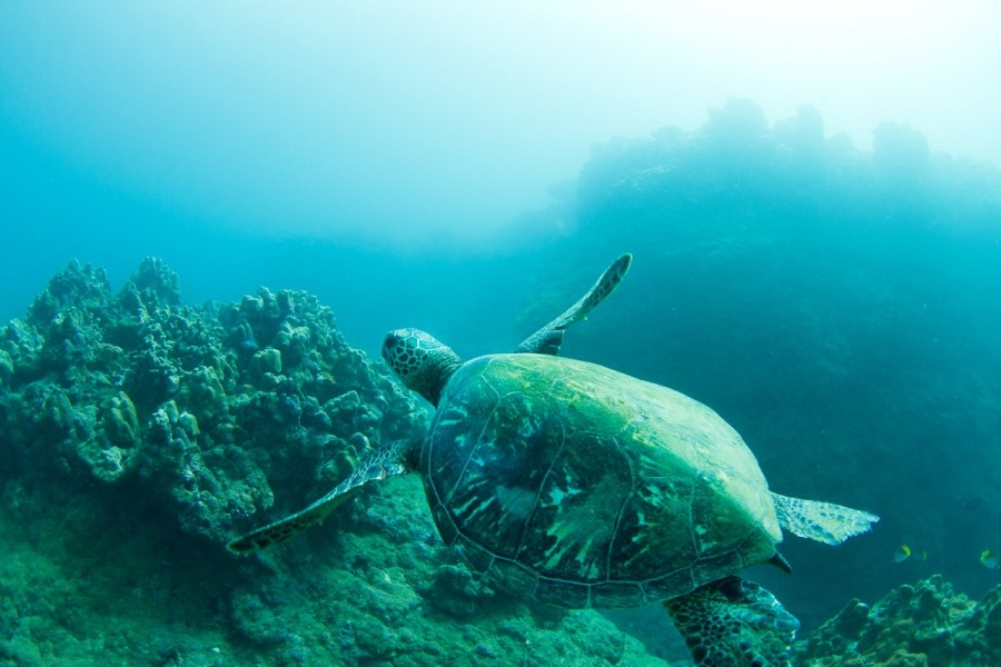 If you can hold your breath and not touch the turtle you can have an underwater tour of the Haleiwa reef.   © ASP / Cestari