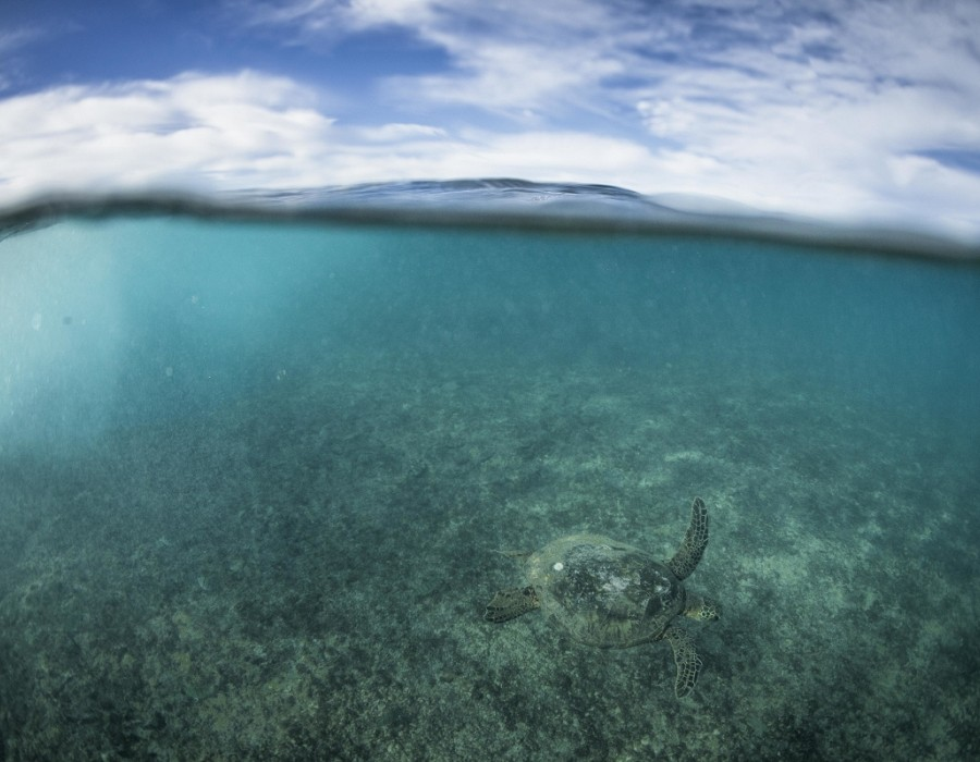 Turtles are abundant in Hawaiian waters.   © WSL / Poullenot