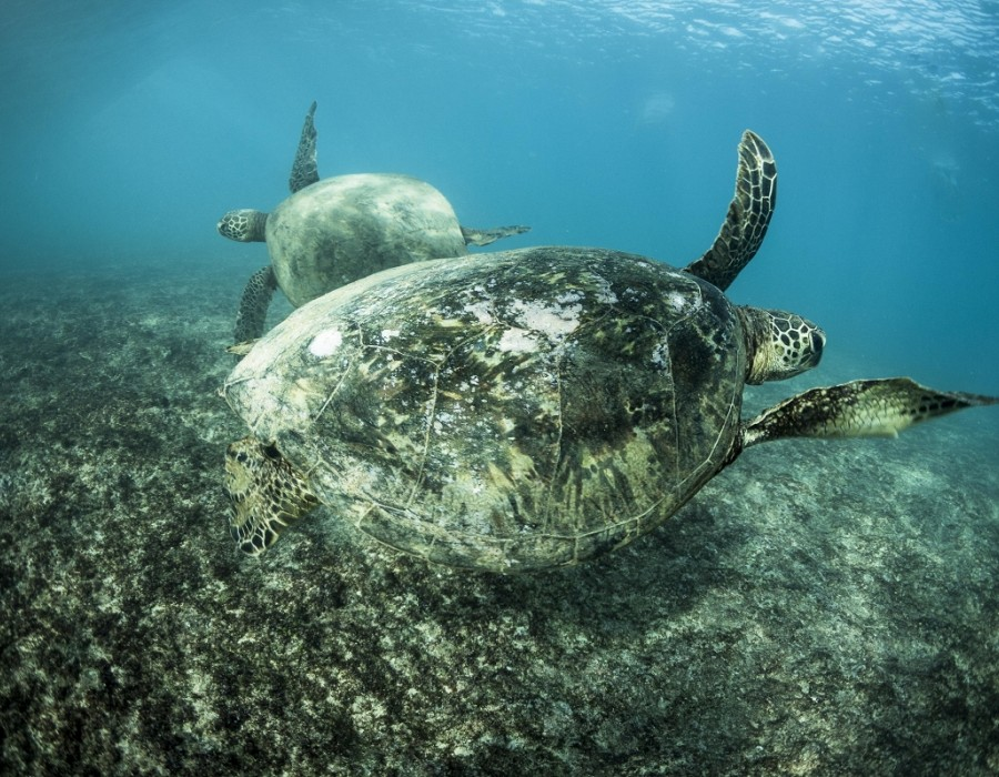 Turtles and more turtles.   © WSL / Poullenot