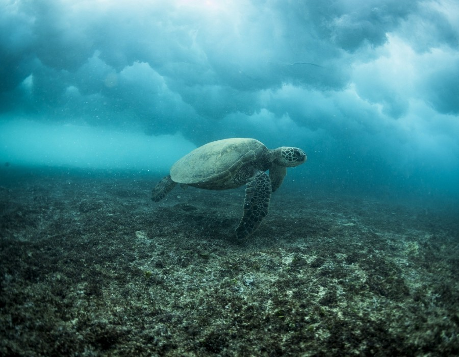 Green sea turtle.   © WSL / Poullenot